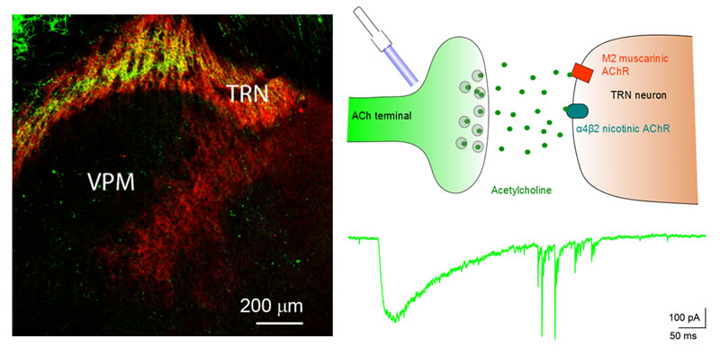Optical stimulation of cholinergic afferents in the thalamic reticular nucleus.