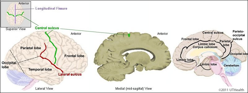 Telencephalon - Fissures, Lobes and Sulci