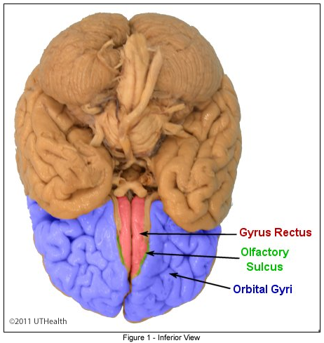 Cerebral Lobes - Frontal Lobe- Inferior View