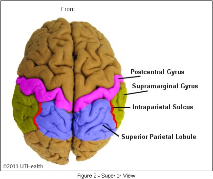 Neuroanatomy Online Lab 1 Overview Of The Nervous System