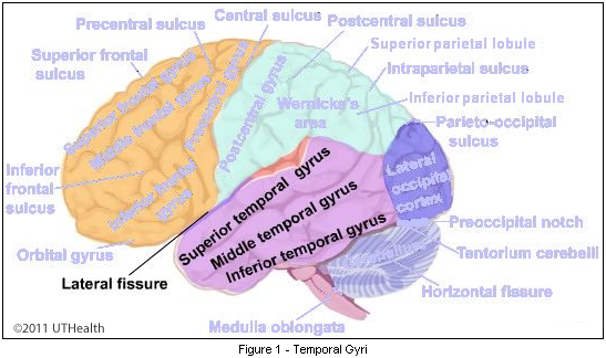 cerebral lobes temporal lobe lateral and inferior aspects temporal gyri