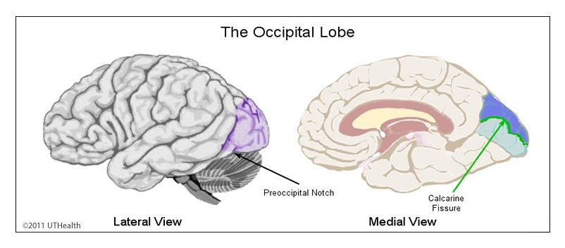 Neuroanatomy Online: Lab 1 - Overview of the Nervous System ...