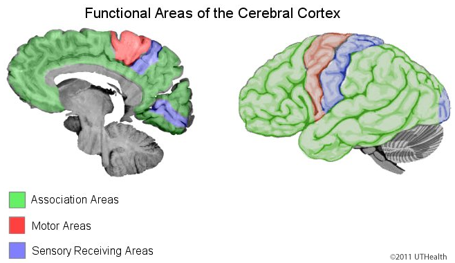 Cerebral Lobes - Functional Areas