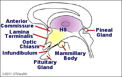 Heart Diagram Worksheet moreover Intermediate Mass Of Thalamus as well Bacterial Vaginosis Bv likewise Image likewise 28 1 Levels Of Organization. on brain endocrine