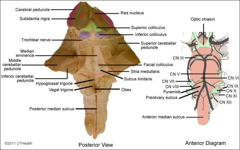 Neuroanatomy online lab 3 the ventricles and blood for Floor of 4th ventricle