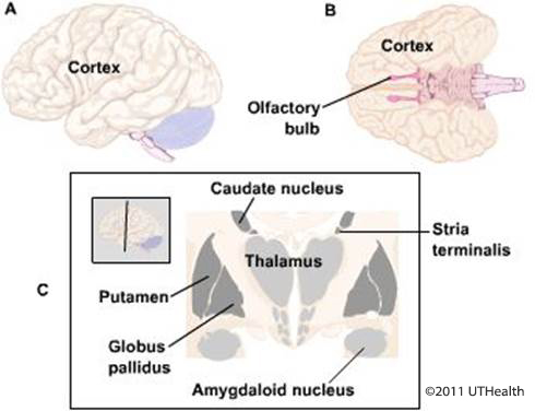 Figure 2. (Click to enlarge)  Lateral (A) and ventral (B) schematic drawing of the cerebral cortex. In C, drawing of subcortical structures.