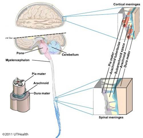 Figure 6. (Click to enlarge) Schematic drawing of the brain and spinal cord meninges.