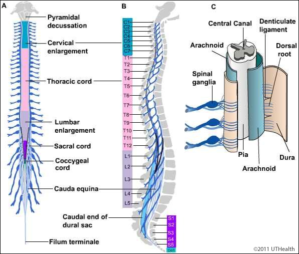 Neuroanatomy Online Lab 4 External And Internal Anatomy Of The Spinal Cord External Landmarks External Diagram Lower quarter of the filum; external and internal anatomy of the