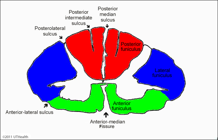 Neuroanatomy Online Lab 4 External And Internal Anatomy Of The