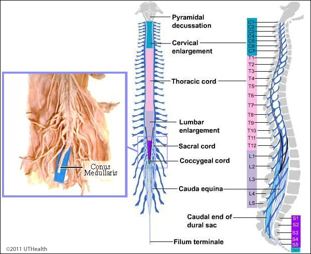 Neuroanatomy Online Lab 4 External And Internal Anatomy Of The Spinal Cord External Landmarks Gross View Adipose tissue in the filum terminale is frequently associated with tethering of the spinal cord in. external and internal anatomy of the