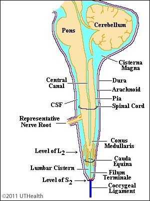 Filum Terminale Extension – Gross anatomy the filum terminale is continuous with the pia.