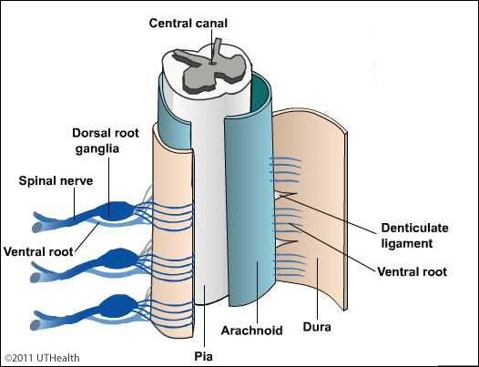 Neuroanatomy Online Lab 4 External And Internal Anatomy Of The Spinal Cord Spinal Cord Meninges Introduction Cauda equina and filum terminale seen from behind. spinal cord meninges