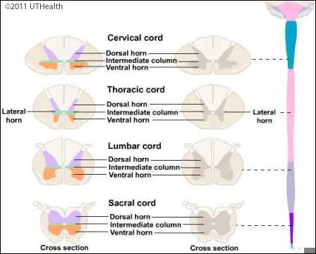 Neuroanatomy Online: Lab 4 - External and Internal Anatomy of the ...