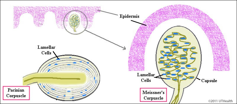 Cells That Form Concentric Rings