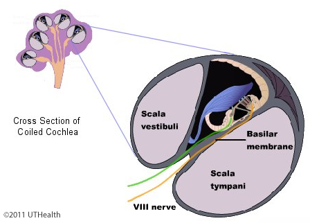 the auditory system-introduction