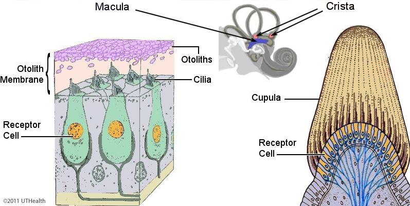 Neuroanatomy Online: Lab 6 - Auditory, Vestibular, Gustatory and ...