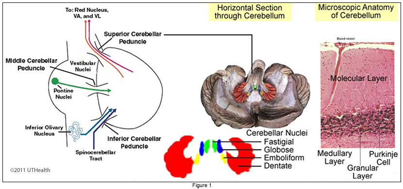 Neuroanatomy Online: Lab 8 - Higher Motor Function - Cerebellum