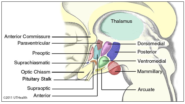 Neuroanatomy Online Lab 11 The Limbic System Hypothalamus