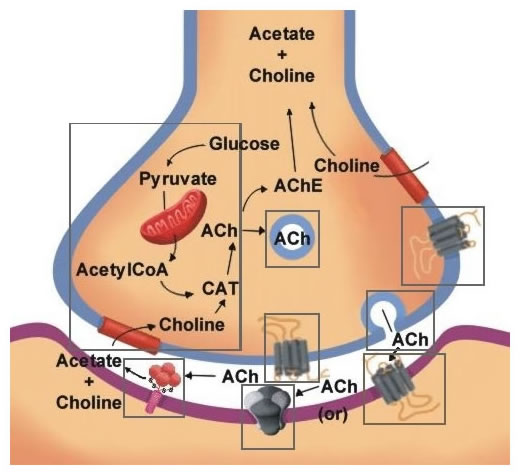 Acetylcholine Neurotransmission Section 1 Chapter 11 Neuroscience
