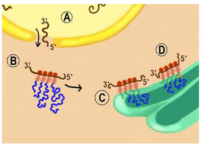 Transport and the Molecular Mechanism of Secretion (Section