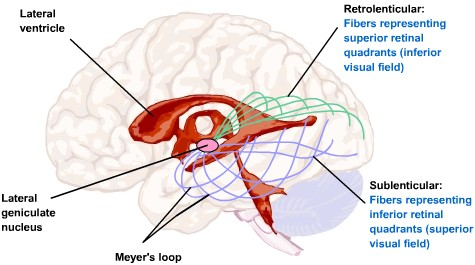 Visual Processing: Cortical Pathways (Section 2, Chapter 15