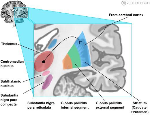 Basal Ganglia Section 3 Chapter 4 Neuroscience Online An