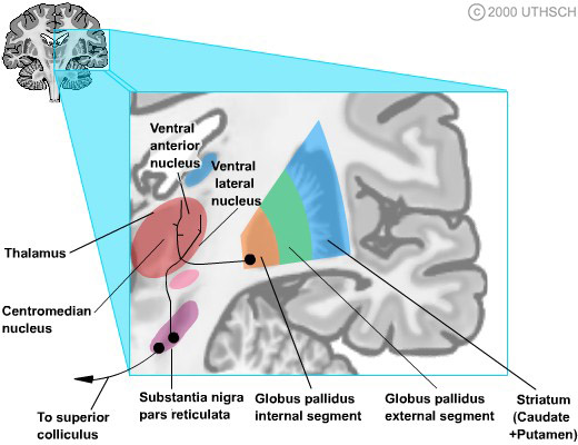 Basal Ganglia (Section 3, Chapter 4) Neuroscience Online: An