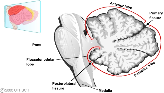 Cerebellum (Section 3, Chapter 5) Neuroscience Online: An ... Flocculonodular Lobe Label