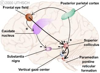 Ocular Motor Control (Section 3, Chapter 8) Neuroscience