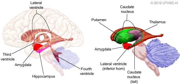 Limbic System Amygdala Section 4 Chapter 6 Neuroscience Online