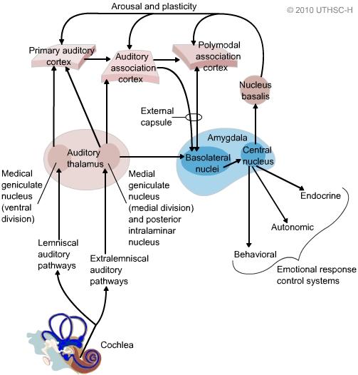 Stem Academy Pre Nursing Pathway: Limbic System: Amygdala (Section 4, Chapter 6