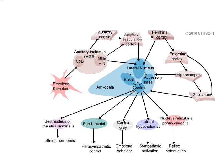 limbic system amygdala section 4 chapter 6 neuroscience online